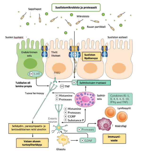 ärtyvän suoli, mikrobisto ja suoliston läpäisevyys ja matala-asteinen tulehdus